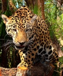 Visit the Jaguar sanctuary, in Belize.